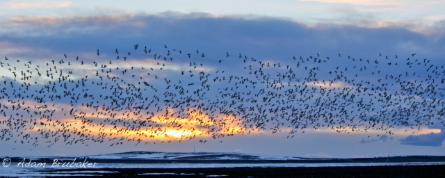 Geese in Flight,  Idaho, Thank you Adam Brubaker.