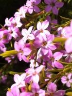 lavendar pink flowers